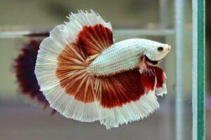 Ikan Cupang Termahal Halfmoon