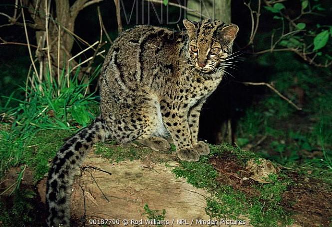 Jenis Kucing Hutan - Kucing Batu