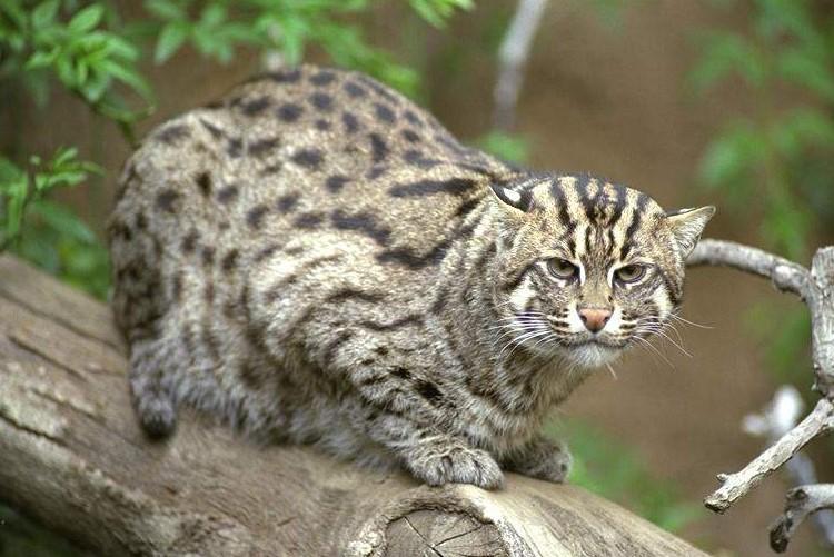Kucing bakau