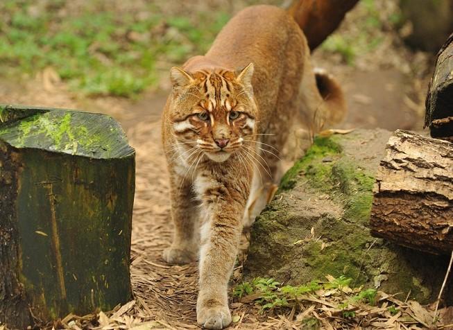 Kucing emas Asia