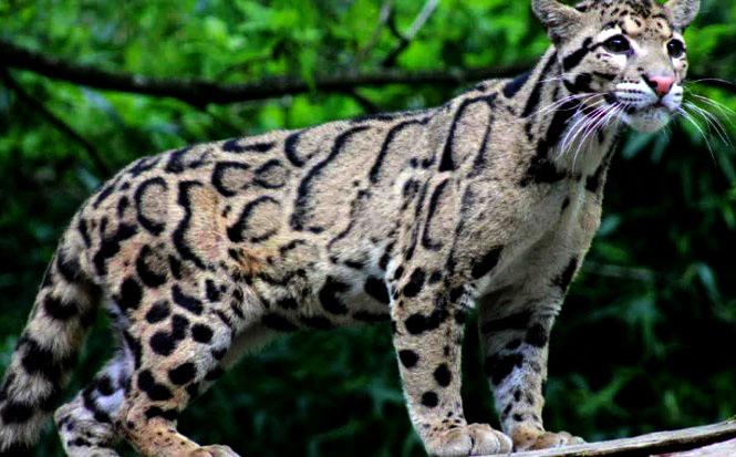 Macan Dahan Benua