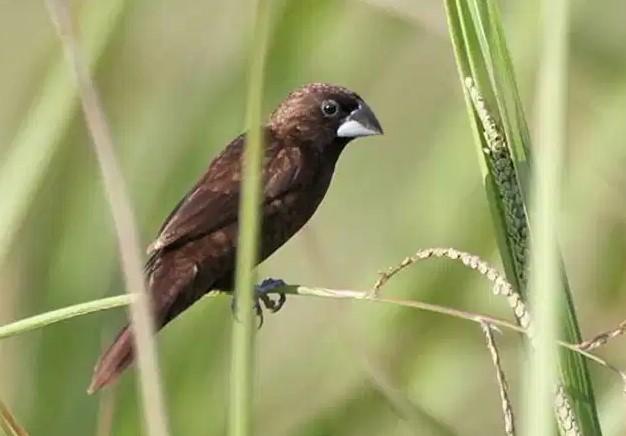 Burung Pipit Kalimantan