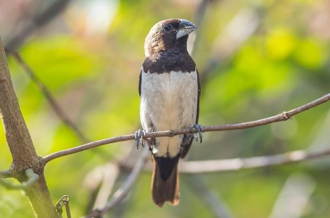 Burung pipit jawa