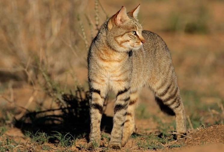 Kucing liar Afrika