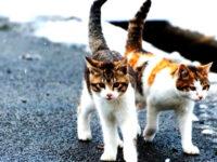 Kucing Kampung Moggy
