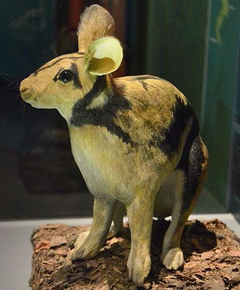 Kelinci Sumatra