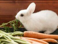cara merawat kelinci
