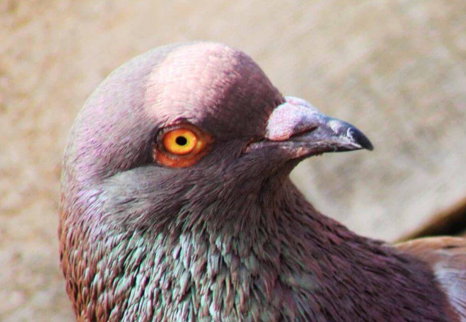 cara memilih burung merpati