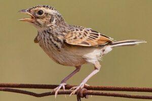 Jenis Burung Branjangan Jawa