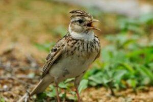 Download Suara Burung Branjangan