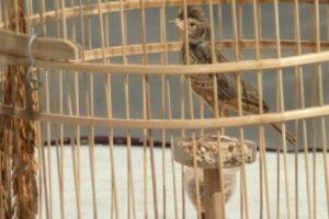 Pakan Burung Branjangan