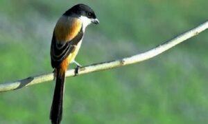 Download Suara Burung Cendet Mp3