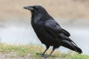 Download Suara Burung Gagak Mp3