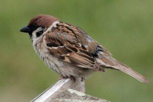 Download Suara Burung Gereja Mp3