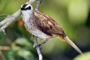 Downlaod Suara Burung Trucukan Mp3