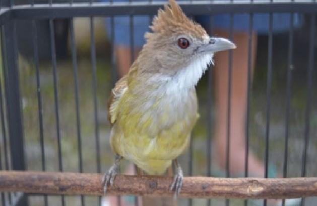 Download suara burung cucak jenggot Mp3
