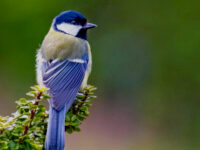 Downlaod Suara Burung Gelatik Mp3
