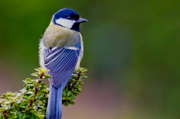 Download Suara Burung Gelatik Gacor Full Isian Mp3