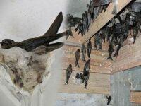 Download Suara Burung Walet Mp3