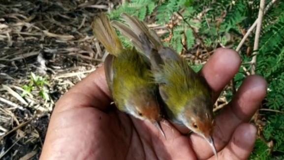 Cara Memikat Burung Prenjak