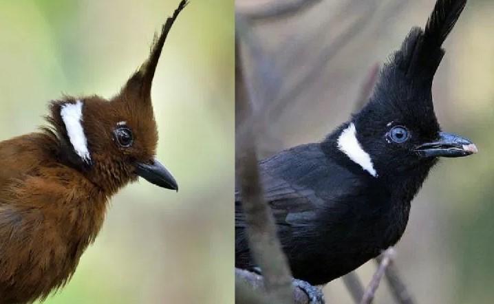Jenis Burung Cililin