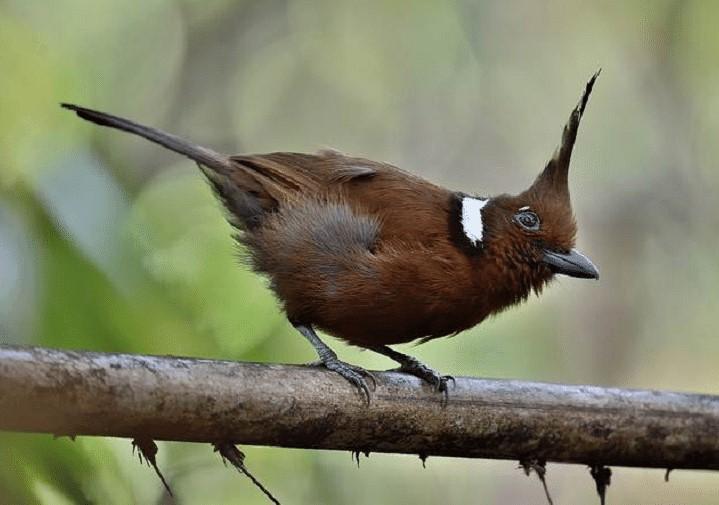 Makanan Burung Cililin
