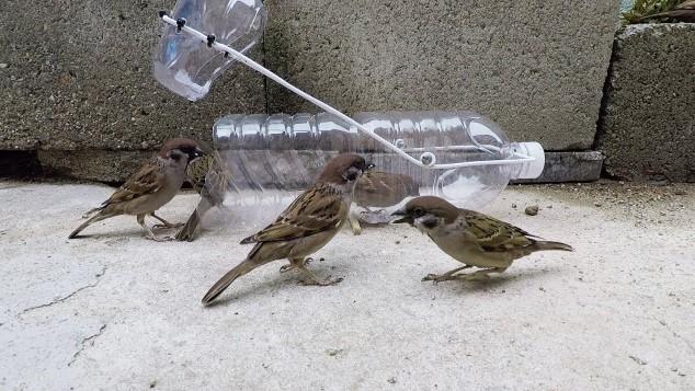 Cara Menangkap Burung Gereja