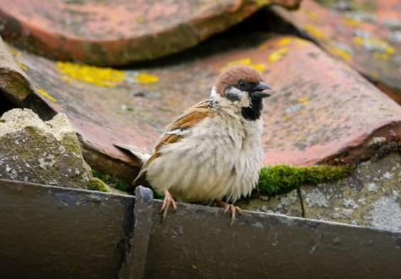 Cara Mengusir Burung Gereja di Rumah