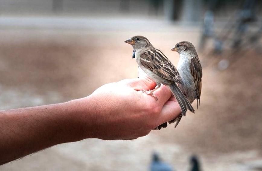 Cara Menjinakan Burung Gereja Liar