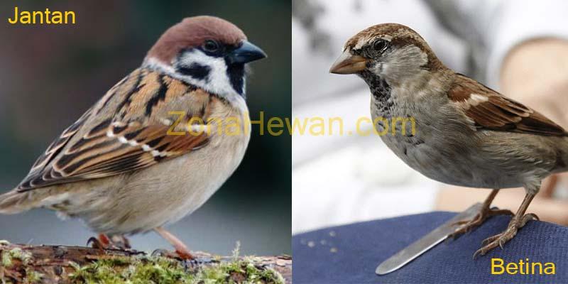 Cara membedakan burung gereja jantan dan betina
