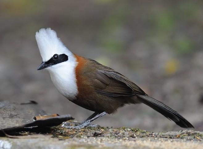 Makanan Burung Poksay