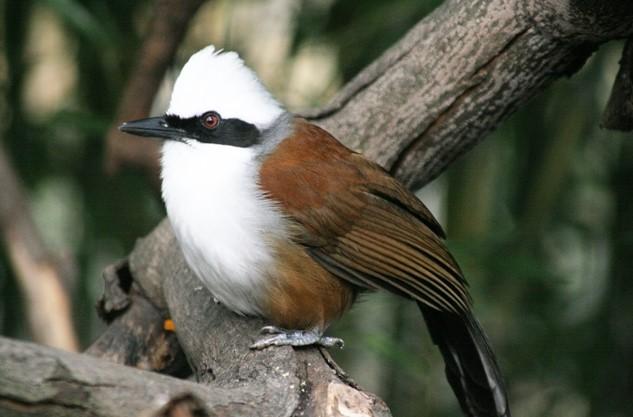Jenis Burung Poksay Jambul