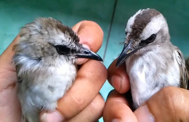 Cara Membedakan Burung Trucukan Jantan dan Betina