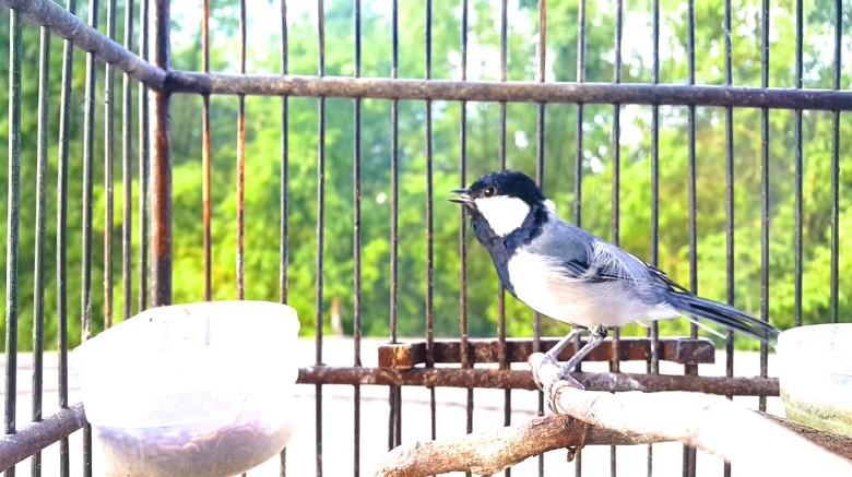 Cara Merawat Burung Gelatik