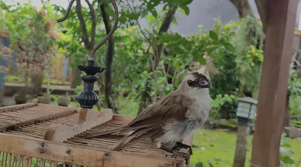 Perawatan Burung Trucukan