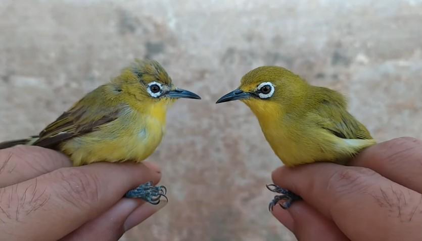 Perbedaan Burung Pleci Jantan dan Betina