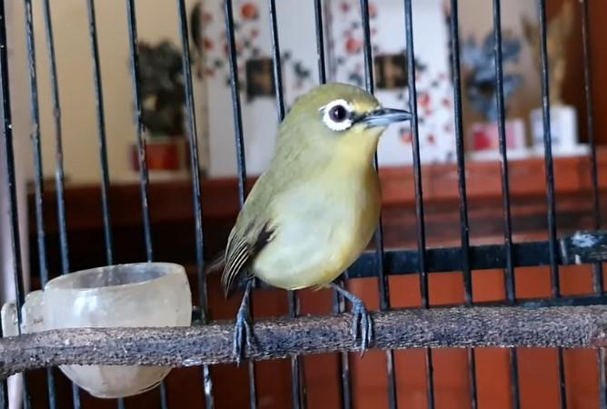 Download Suara Burung Pleci Mp3