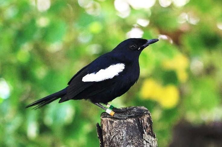Burung Kacer Jawa