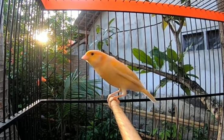 Download Suara Burung Kenari Mp3
